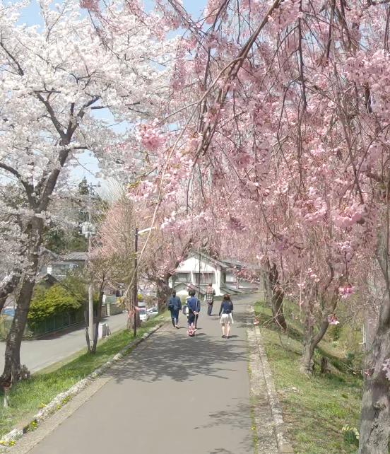 小型ドローンで撮影した桜の映像が大学Facebookに掲載されました